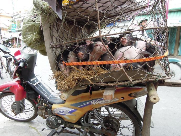 Świnki, Vinh Long, fot. M. Lehrmann