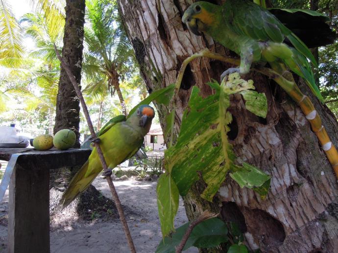 Najedzone ptaki i nasze zbiory mango, fot. M. Lehrmann