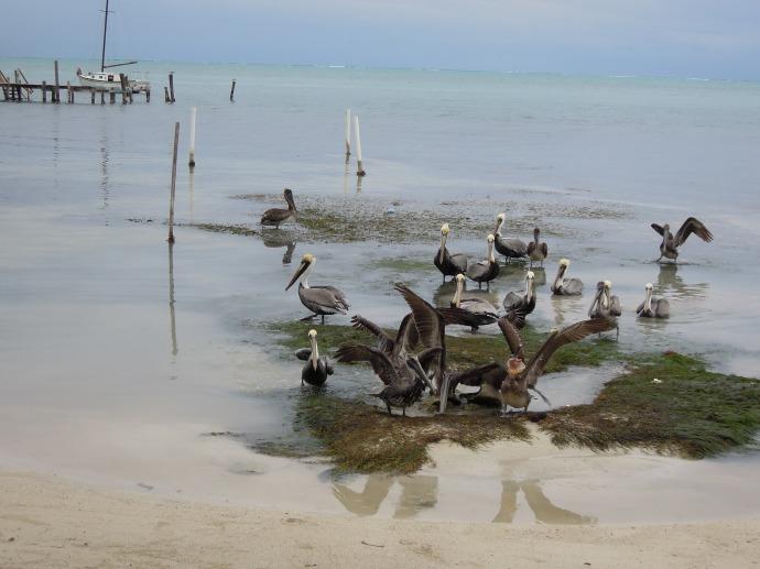 Pelikany, Caye Caulker, Belize, fot. M. Lehrmann