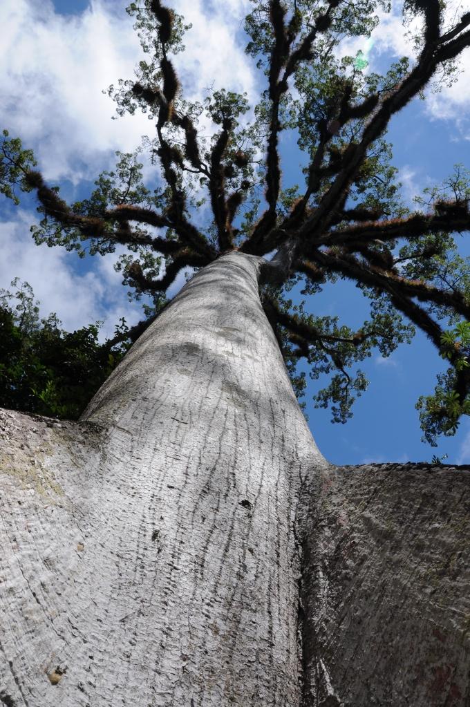 Puchowiec, święte drzewo Majów, fot. Ulka Kupińska