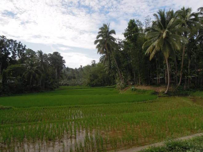 Pole ryżowe, Bohol, fot. A. Mielczarek
